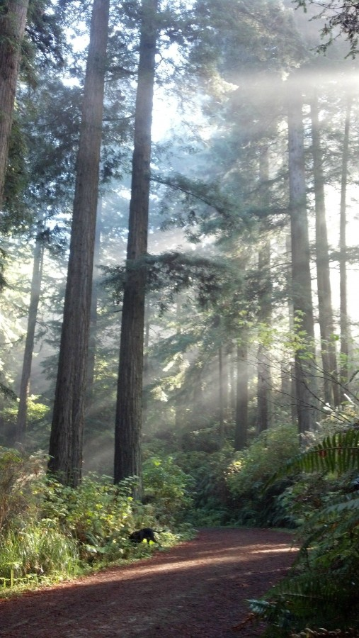 Speaking Of Redwoods, We Walk In Them Almost Every Day [1840×3624] – Arcata Community Forest, Humboldt CA 10/26/13