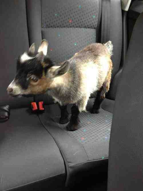 Everyone needs a goat…