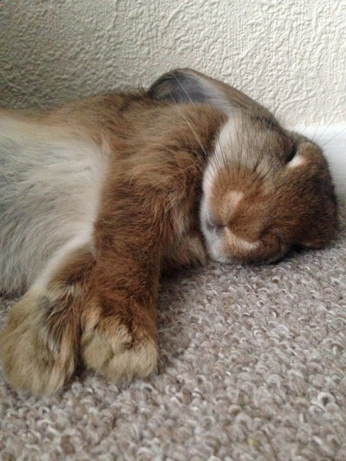 My bun is pregnant and all she wants to is sleep… very cutely.