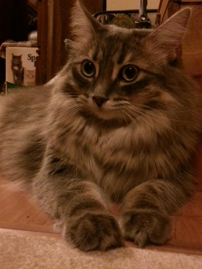 This is Skittles, I rescued her at a fee months old. Turns out she was a maincoon.