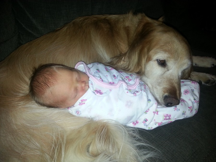 8-year-old golden meets 8-day-old baby.