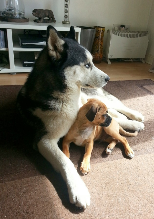Strider the husky and Teddy the puggle puppy.