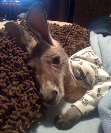Your life is not complete until you've seen a baby kangaroo in pajamas