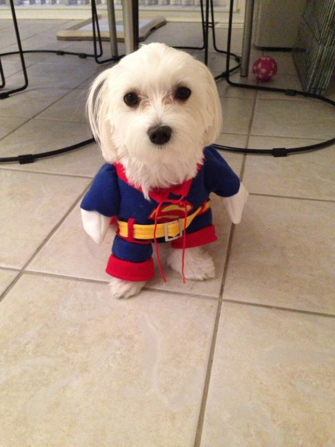 My dog is superman for Halloween!