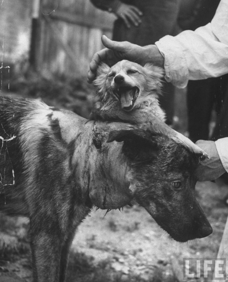 Results from the 1959 Soviet two-headed dog experiment