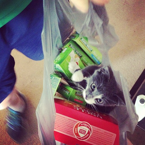 My friend's kitten immediately jumped in the bag with tuna upon her return from the shops.