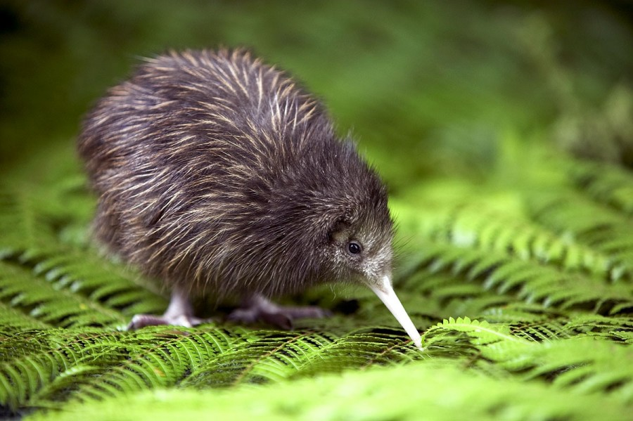 I think the Baby Kiwi is underrated.