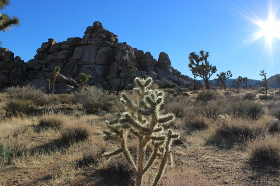 """The Lone Cholla"" Joshua Tree National Park, CA. [3110×2073] (OC taken 12/23/13)"