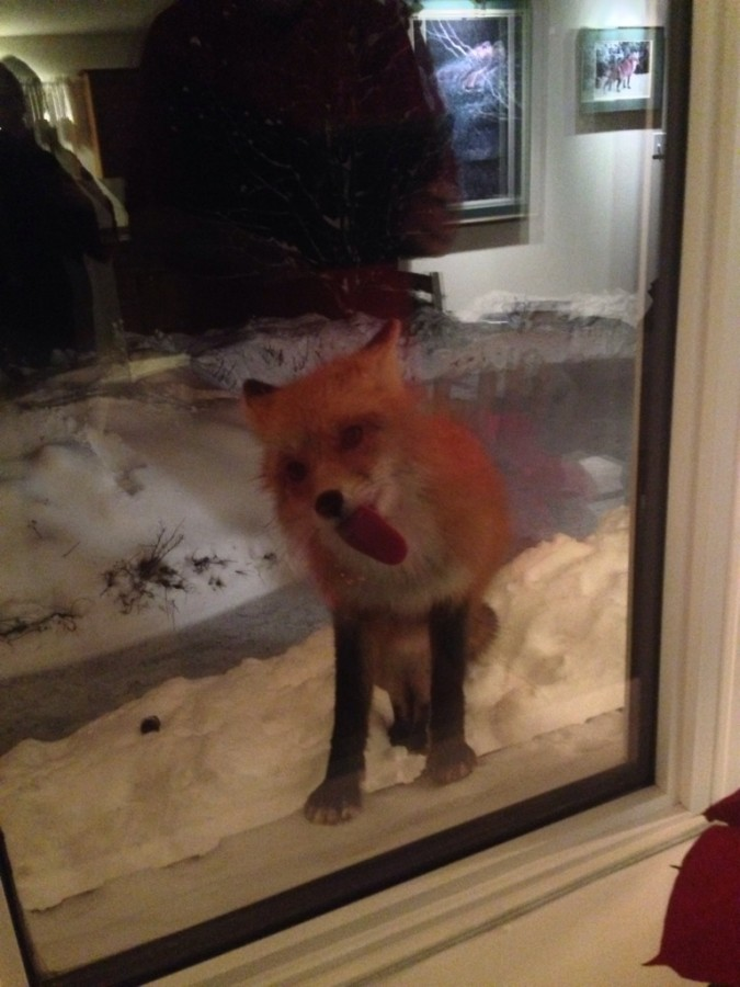 Fox licking my parents dining room window.
