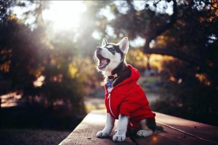 Husky wearing a sweater