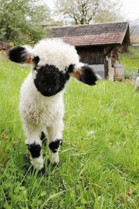 Not a cat, but hopefully this baby sheep will do.