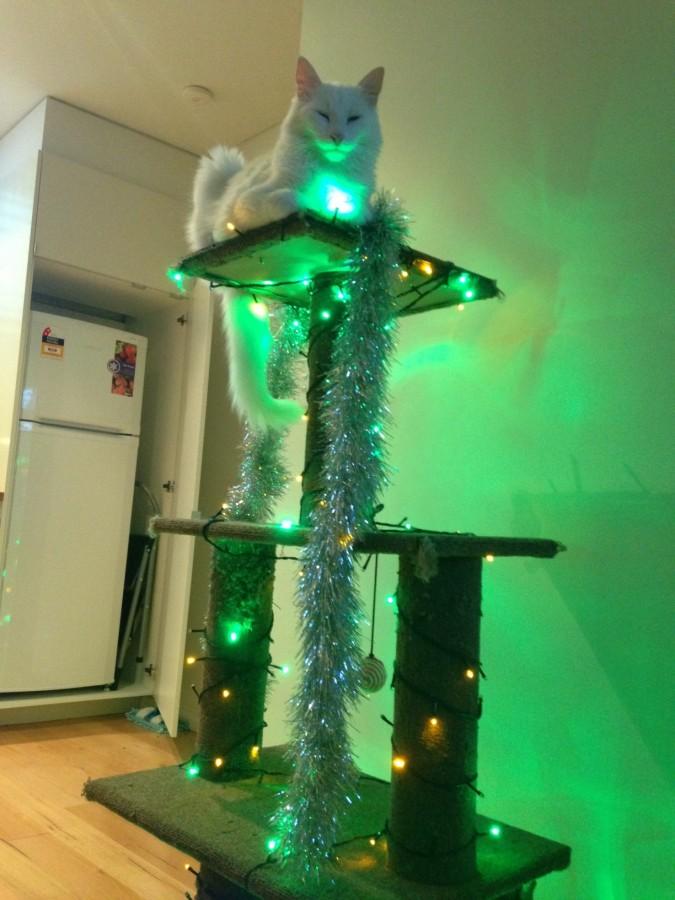 All hail Shiro, the Christmas Cat!