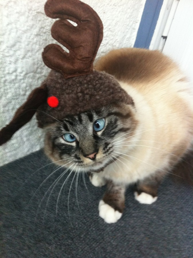 Frankie, the cross eyed reindeer cat