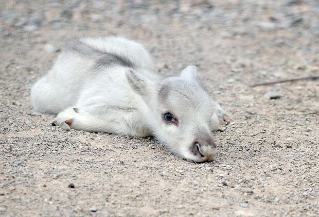 Baby reindeer.