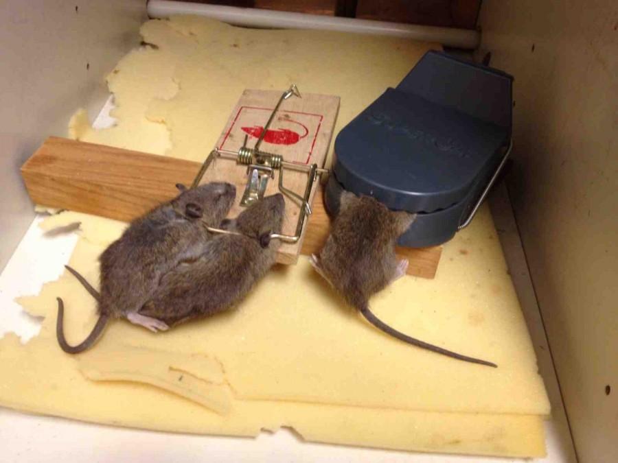 Капкана для крысы своими руками 281
