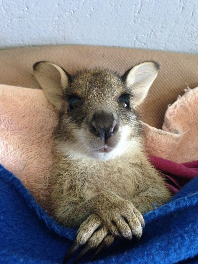 This is Musashi, an orphaned Australian wallaby.