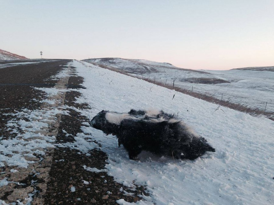 A skunk frozen to death while standing, in Bizmark, ND.