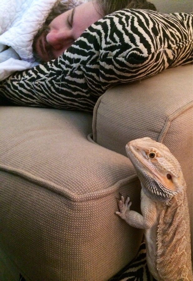 Om Nom, my bearded dragon, thinks my boyfriend has slept long enough. Girlish screams in 3…2…1…
