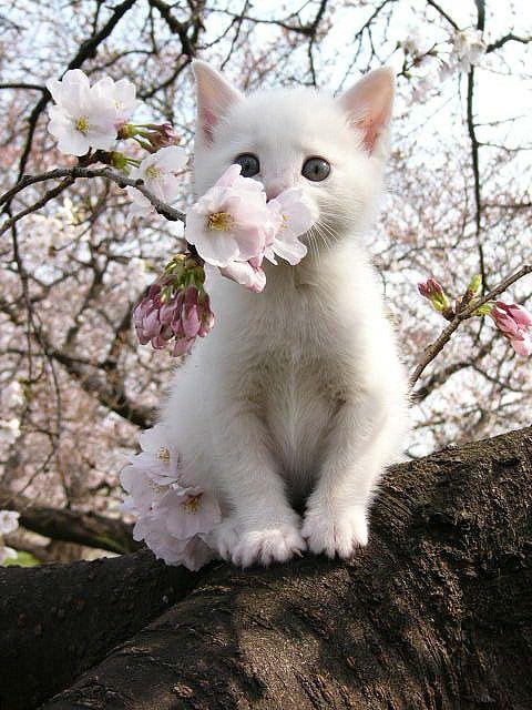Cherry blossom kitten