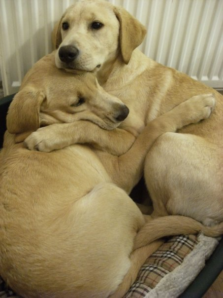 Here is one of my dogs comforting her sister during a storm.