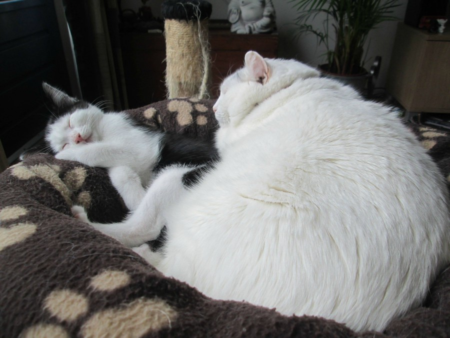 Pictures Of Really Fat Cats