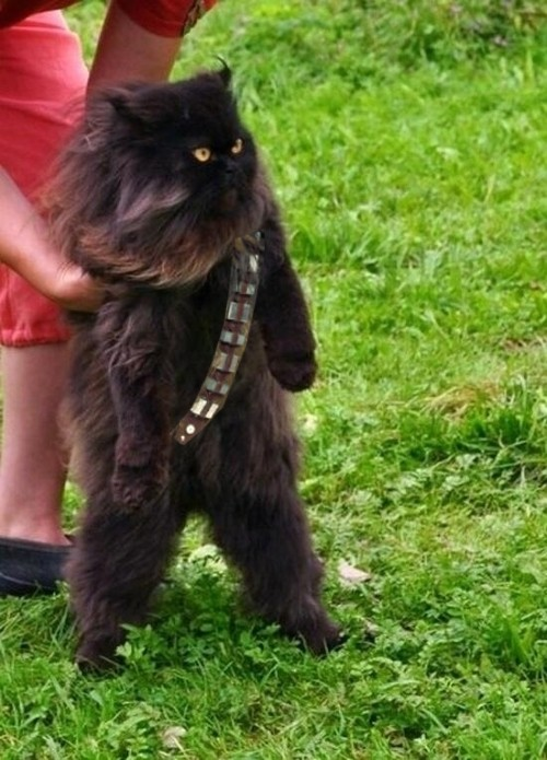 Mewbacca, the wookie cat.