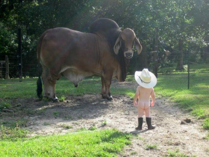 Bull vs toddler