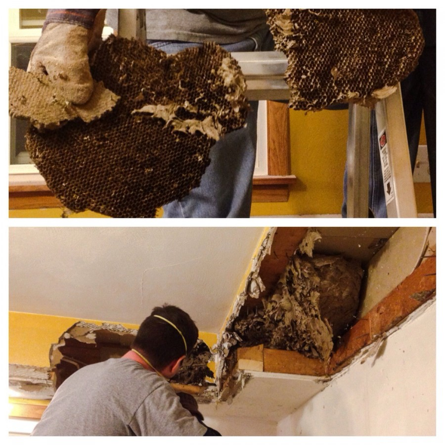 I'm going to have nightmares tonight! Found a huge bees nest when tearing out our enclosed kitchen bulkhead for a kitchen remodel. There were layers upon layers of dried honeycombs. Thank goodness no bees were inside!