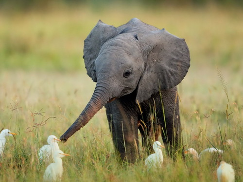 hello small feathered things i am a baby elephant it is nice to meet you may we shake noses?