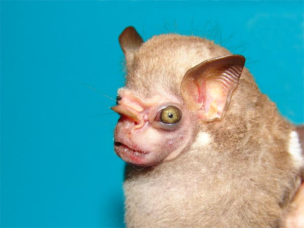 A real WTF-worthy bat, the visored bat. Don't worry, it only eats fruit…and your soul.