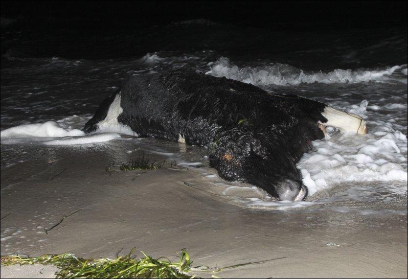 Dead cows have been mysteriously appearing on the shores of Sweden and Denmark.