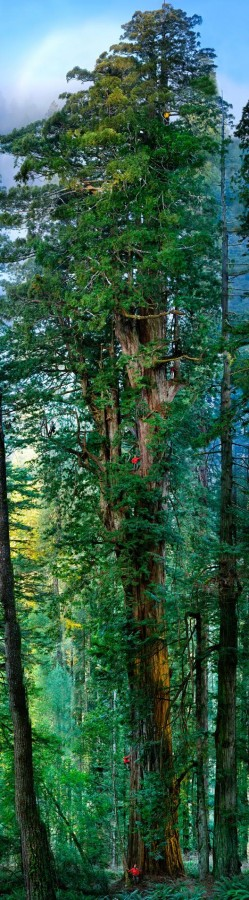 First ever portrait of a Giant Redwood-how many people can you spot? A composite of 84 photos of this 1,500 year old, 300+ ft tree, from NatGeo. [528x 1903] [x-post /r/everythingscience]