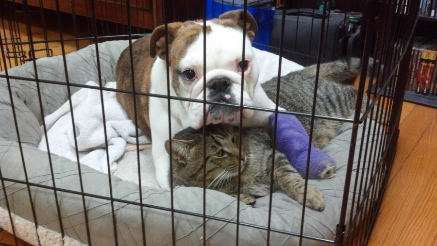 My bulldog had surgery on her arm. My cat likes to keep her company during recovery.