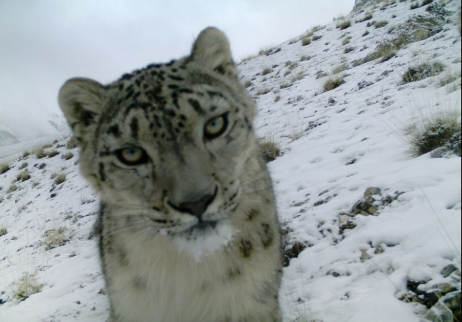 Rare snow leopard caught in camera trap in Pakistan. (Story from /r/everythingscience)