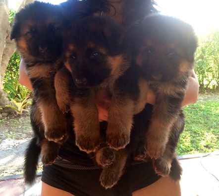 My cousin's german shepard just had puppies
