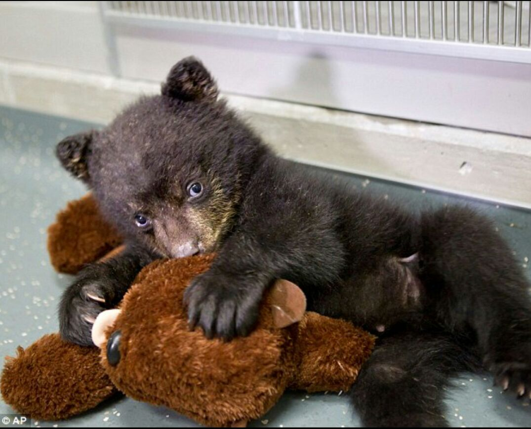 Baby black bear loves his teddy bear