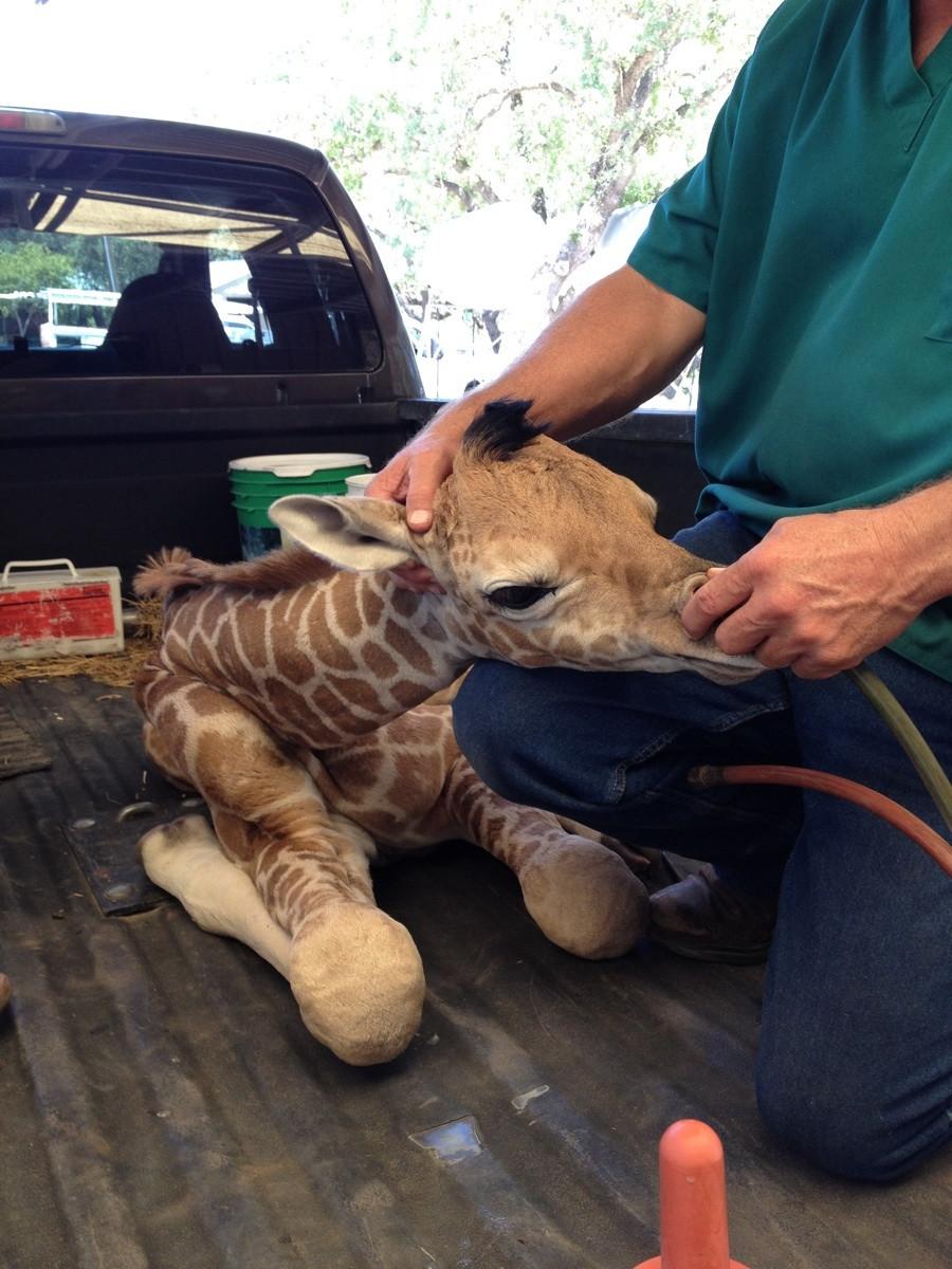 Bacon Baron | A premature baby giraffe getting oxygen.