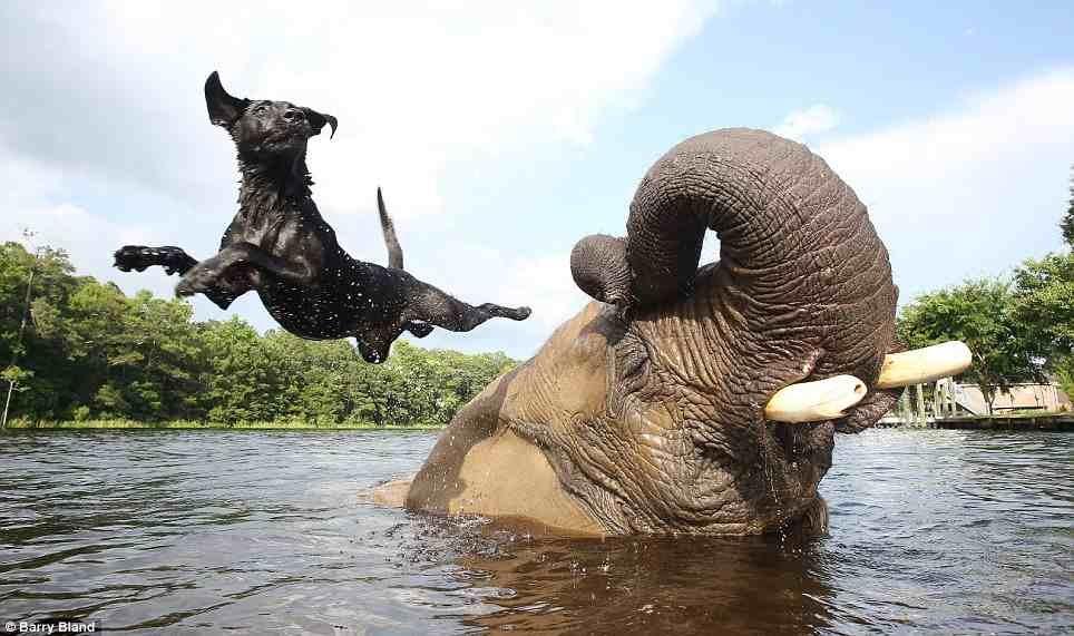 Unusual best friends, an elephant and dog enjoying a swim together.