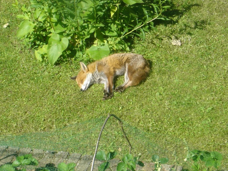 This fox likes to nap on my lawn on sunny days