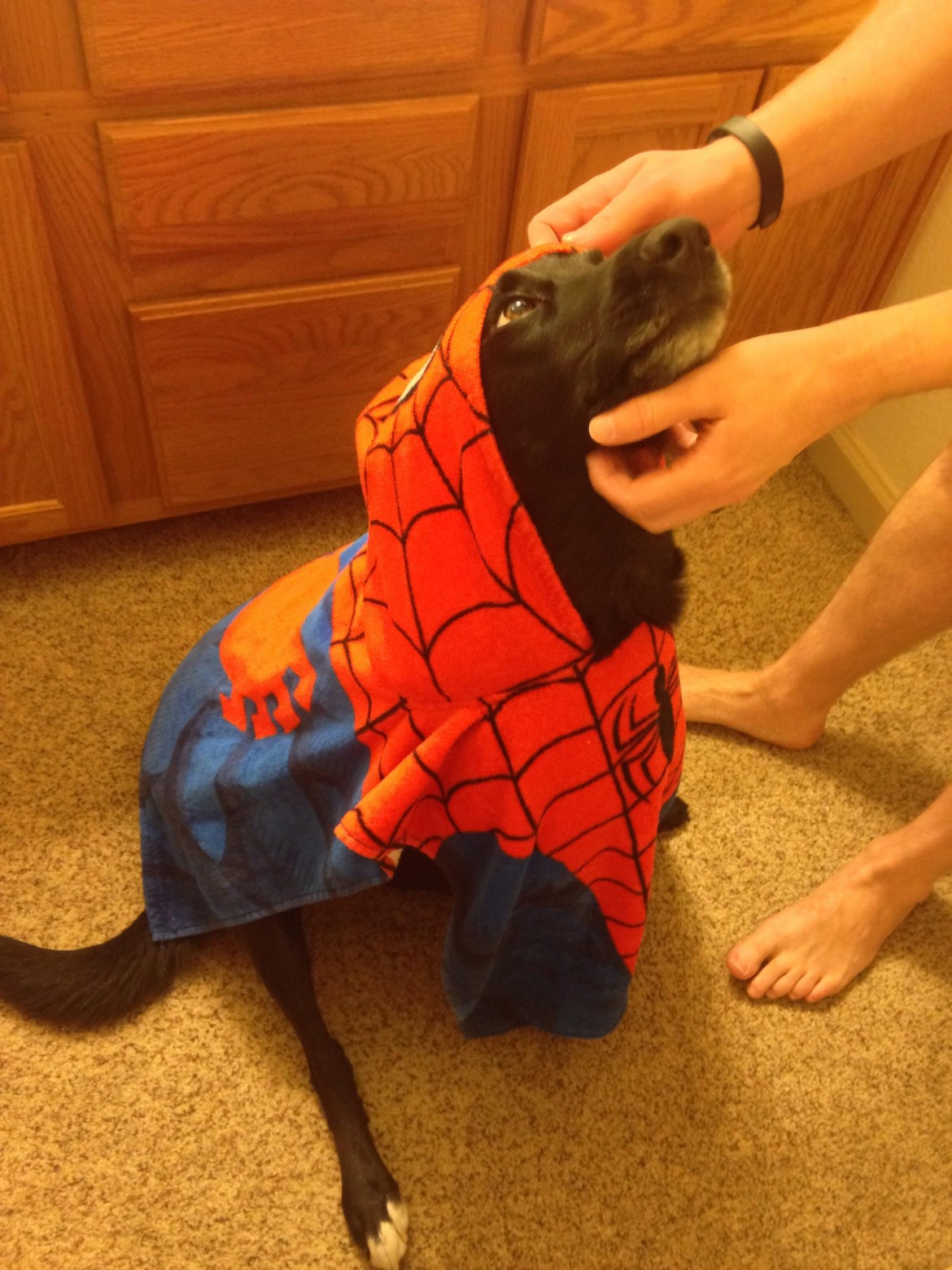 My dog likes to drag around my Spider-Man towel. I choose to share this on my cake day!