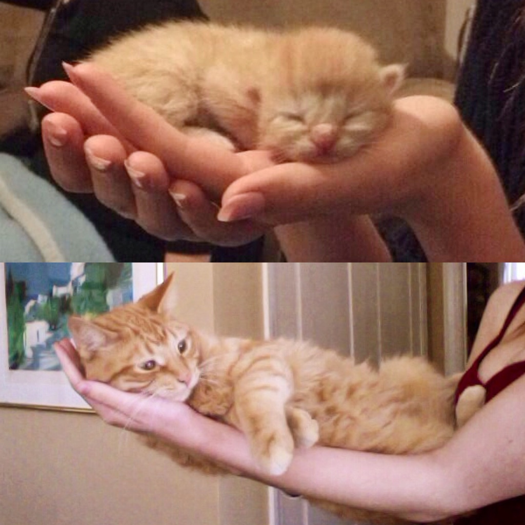 From handful to armful, I've known this little guy for his entire kitten life. Happy 1st birthday, Cheese!