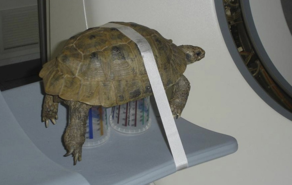 Not traditional aww, but I think the method for restraining tortoises for a CT scan is flipping adorable.