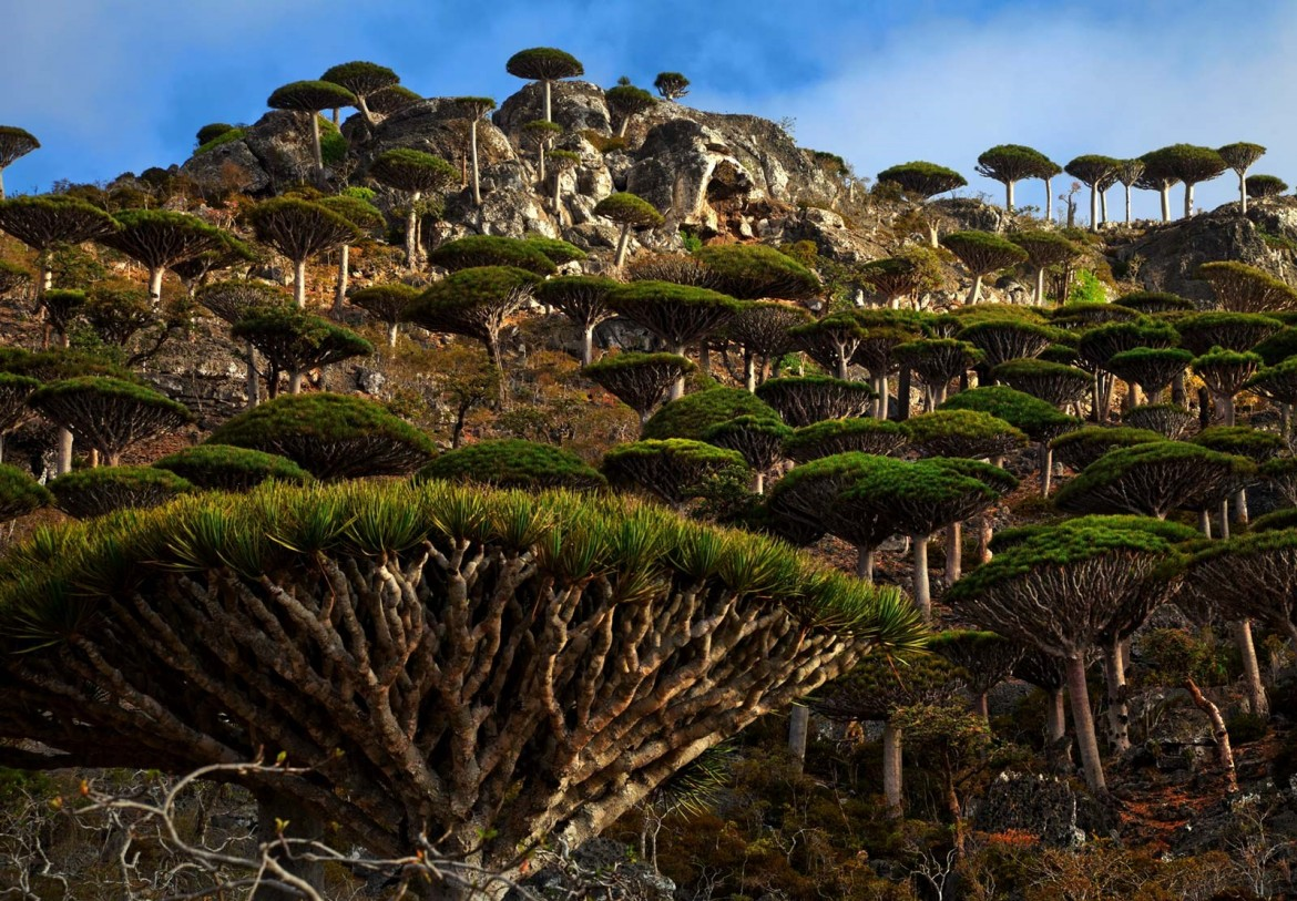 Dragon's blood forest, Socotra Island, Yemen. Photo: Mark W. Moffett [1600 x 1113]