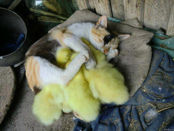She is Very Protective of Her Ducklings