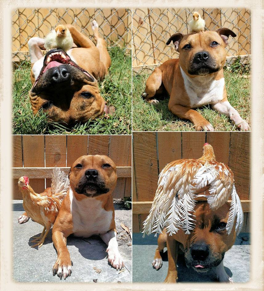 Remember the picture of the pit bull with the chick? Here they are again, with the rooster all grown up!