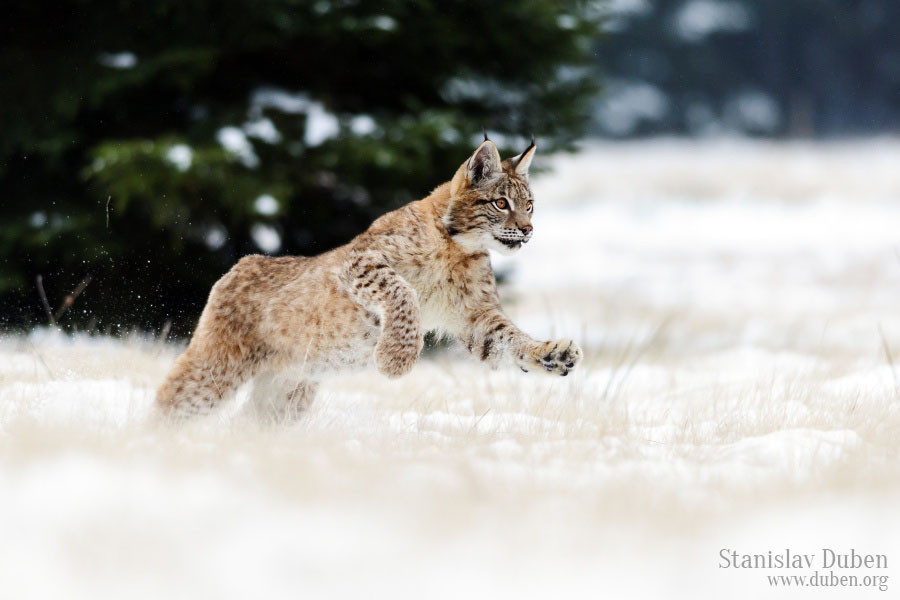 Young lynx enjoys snow