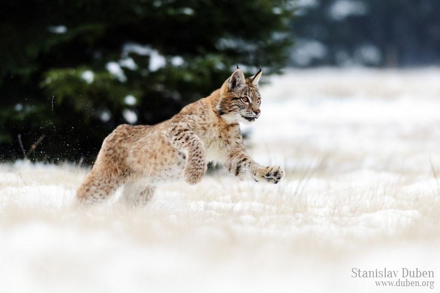 Young lynx enjoys snow