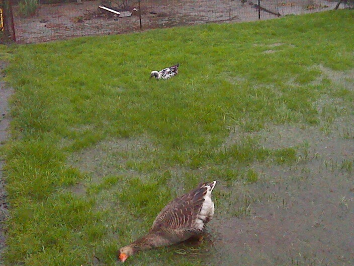 My sister's goose after a rainstorm. Pure happiness.