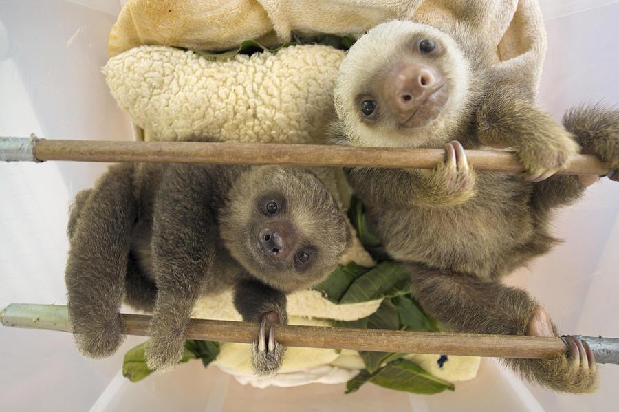 A few baby sloths.