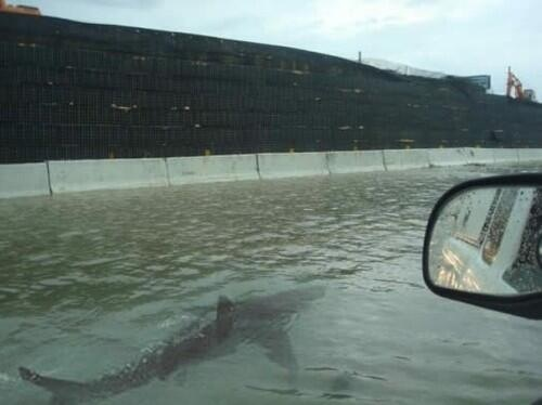 Shark swimming in the flooded streets of Puerto Rico during a hurricane